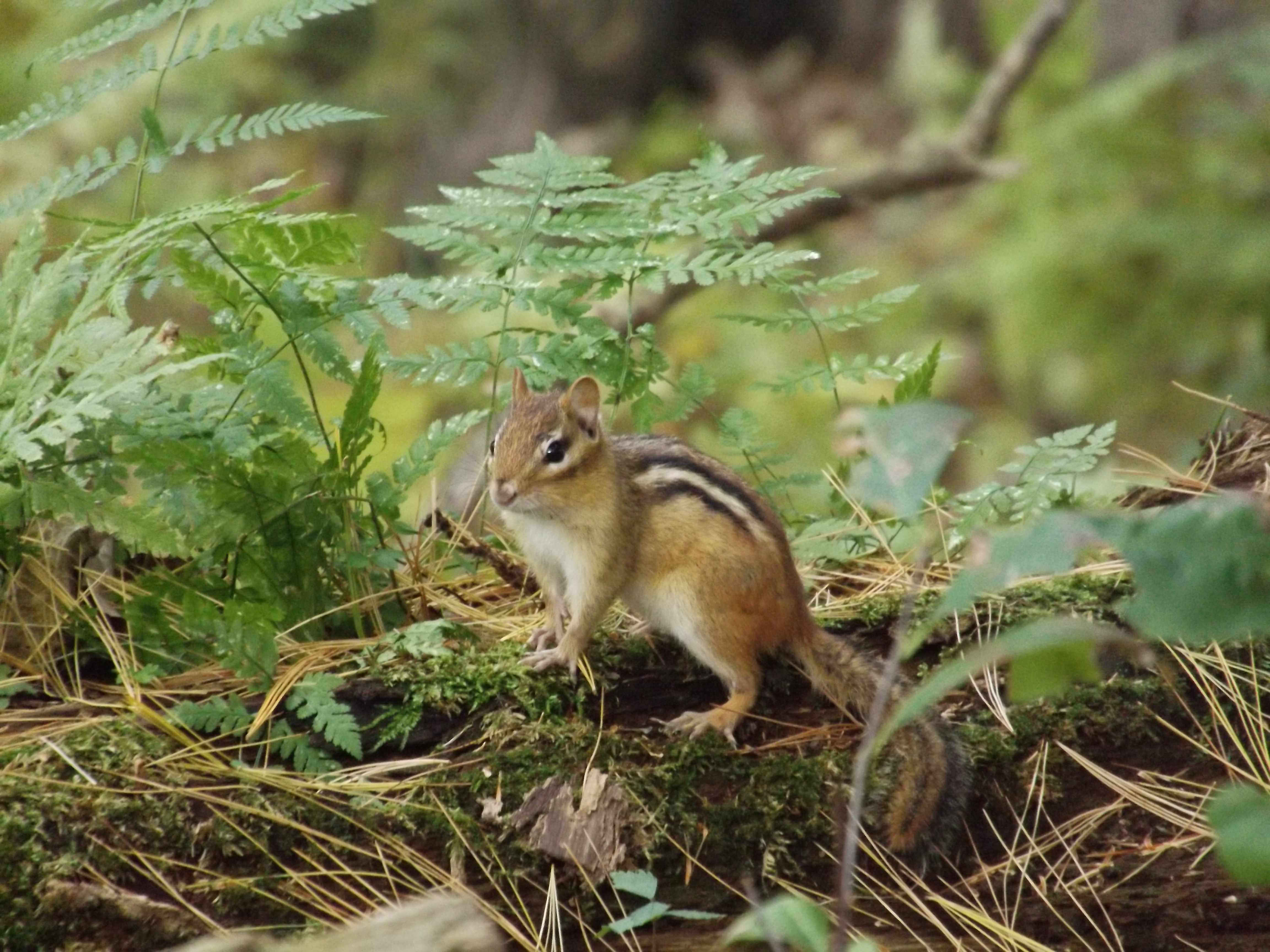 A chipmunk pauses on a fallen log. Photo: Erica Dailey, natureupnorth.org