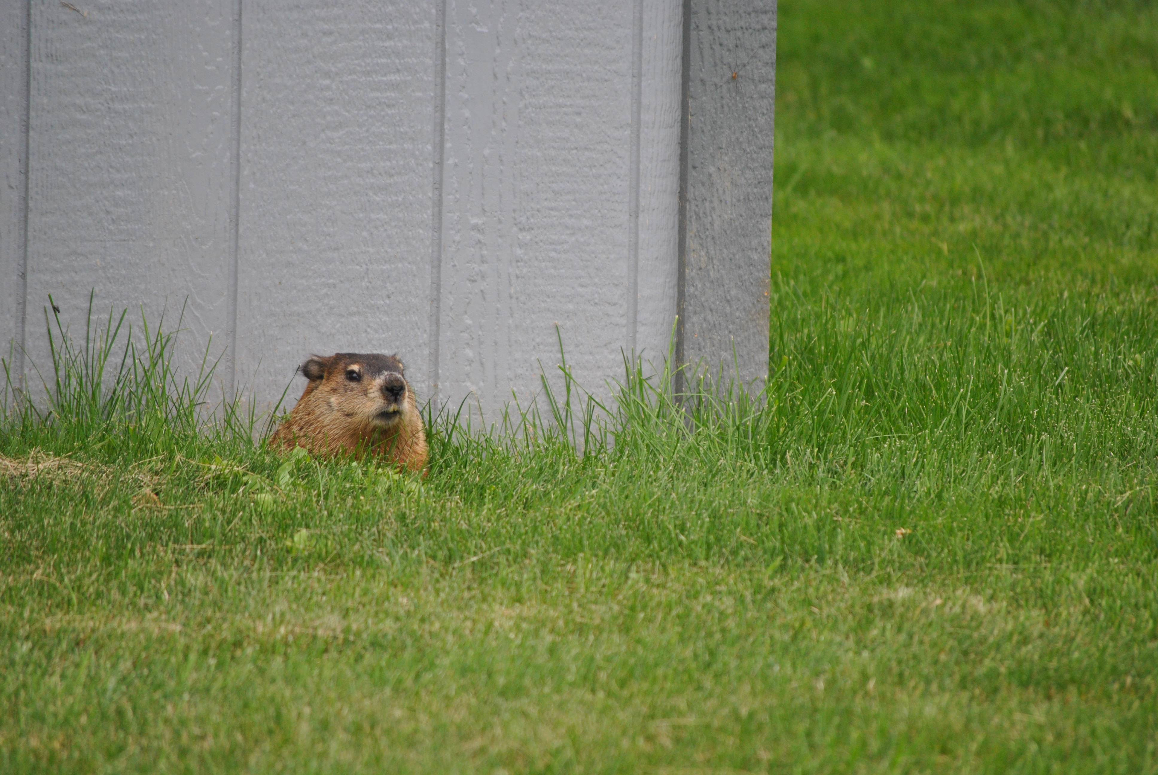 A woodchuck (or groundhog) on the St. Lawrence University campus.