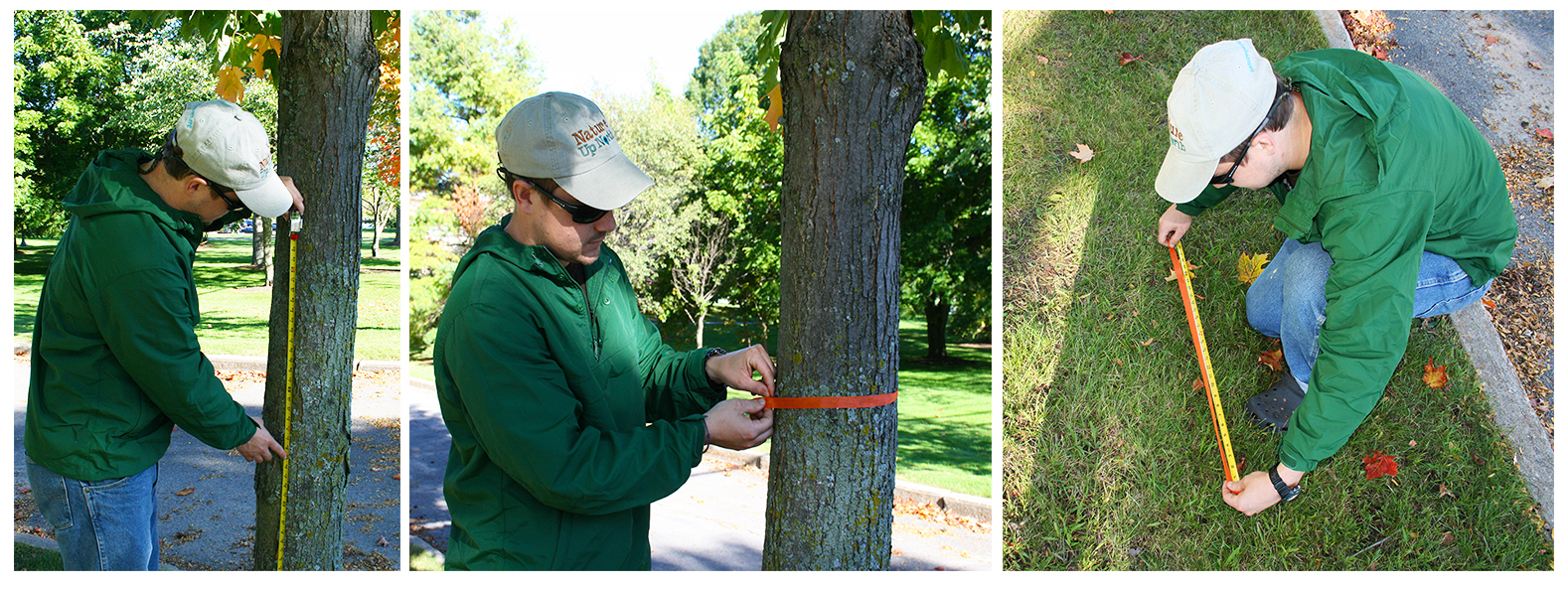 Measure the circumference of you maple tree with a cloth tape measure or string.