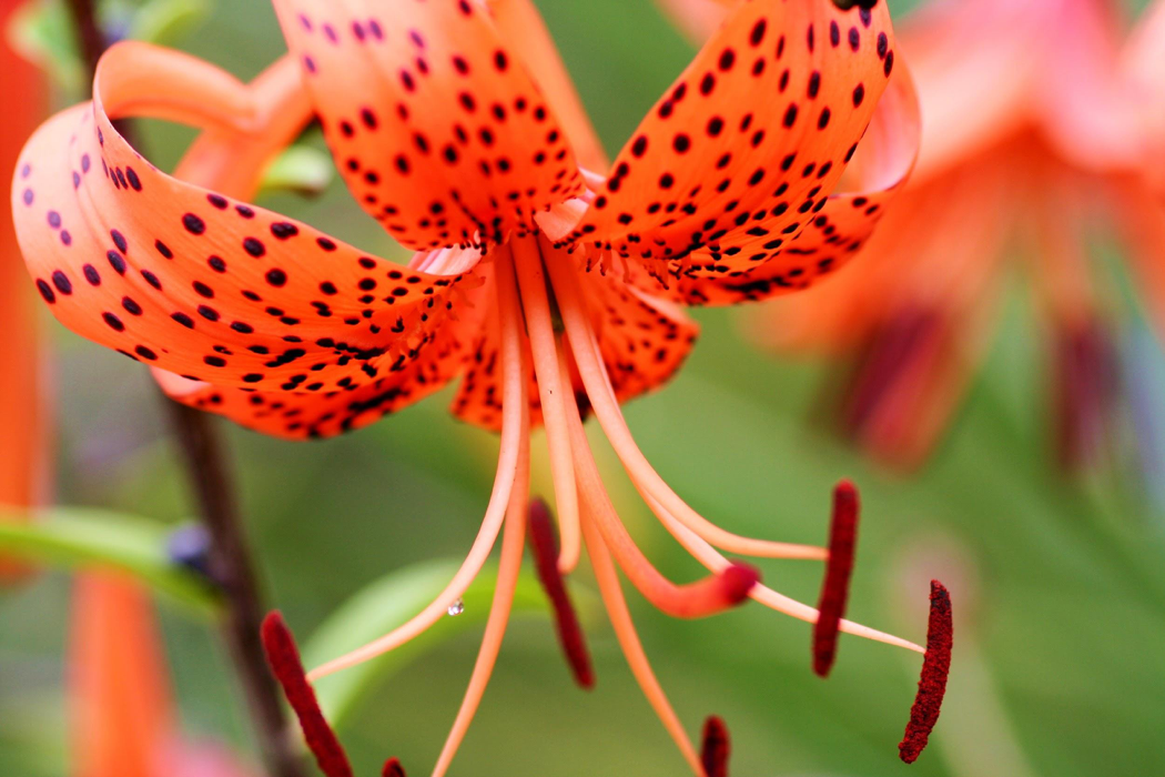 non-native species of lily known as tiger lily