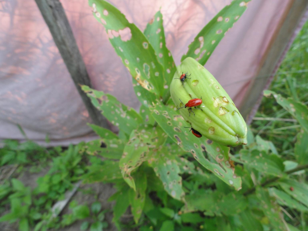 Picture of lily leaf beetle