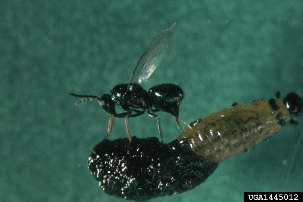 Wasp inserting their eggs into the body of beetle larvae.