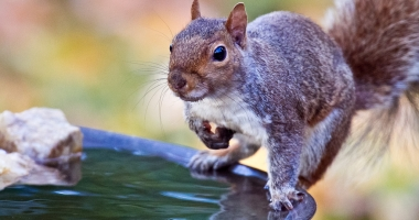 Gray Squirrel. Photo: Flickr Creative Commons, Ehpien