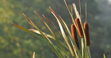 Cattails blowing in the breeze