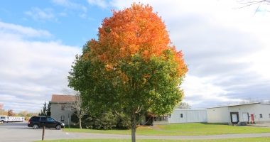 A maple tree near a school with a bright orange top and green leaves below.
