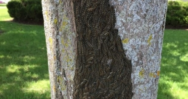 Forest tent caterpillars on a tree in Canton during the 2017 outbreak. Photo: Erika Barthelmess.