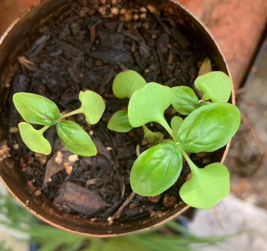 Planted Herb