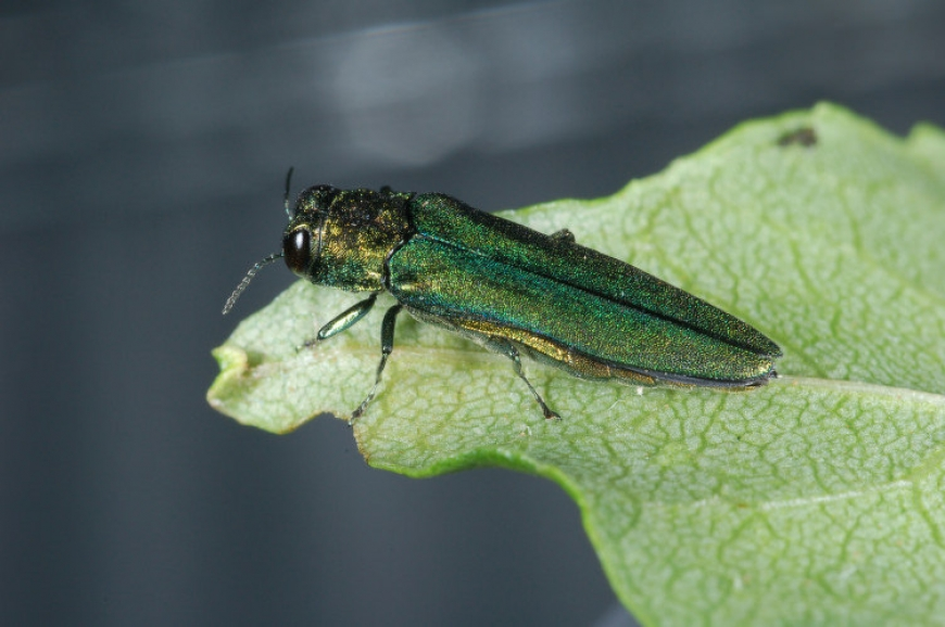 Adult emerald ash borer beetle.