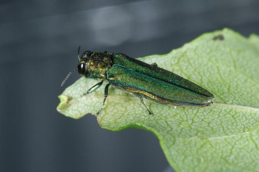 Adult emerald ash borer beetle.