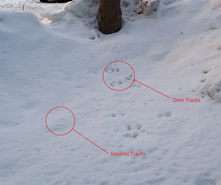 Deer and squirrel tracks in snow