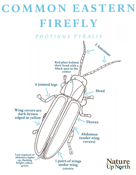 Common Easter Firefly