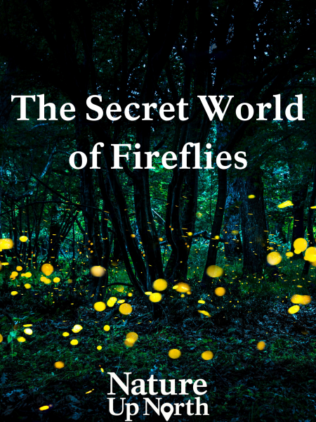 Poster with the title of blog, The Secret World of Fireflies, and the Nature Up North logo over a picture of fireflies glowing in a dark forest