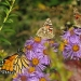 Butterflies on purple aster.