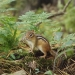 Chipmunk pausing on a log