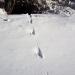 Mink tracks in snow